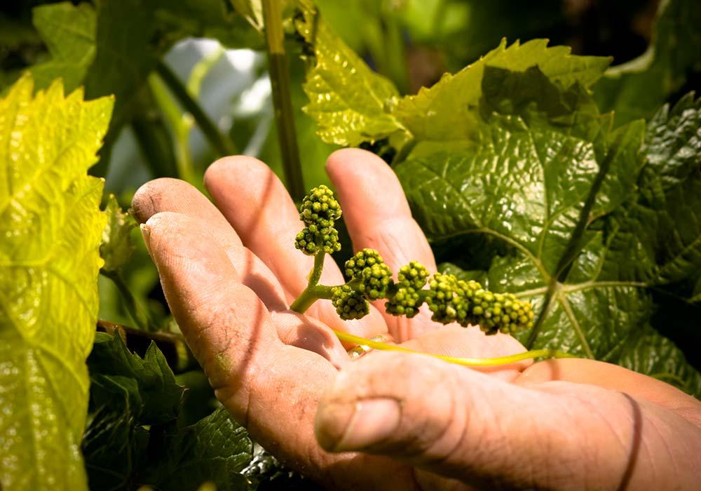 Nog enkele maanden in de Siciliaanse zon en deze druiven kunnen worden geperst.