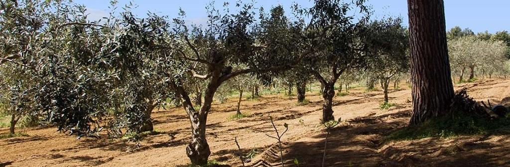 Olijfbomen op het terrein van de baglio